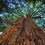 Western Red Cedar boom