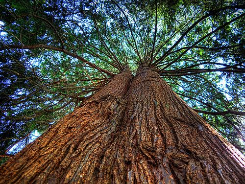 Western Red Cedar ~ Western red cedar eigenschappen eppinga